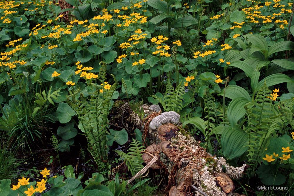 1001 marsh marigolds