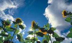 Sunning Sunflowers
