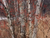 3020-winterberry-and-birches