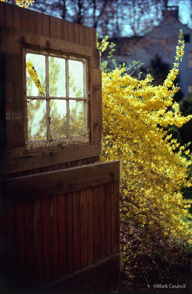 1003-welcoming-spring-forsythia