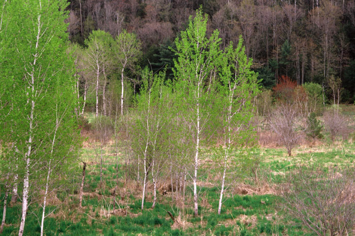 1004-leafing-out-white-birches-bradford-vermont