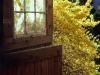 1003-welcoming-spring-forsythia