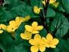 1008-glowing-marsh-marigolds