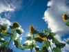 2017-sunning-sunflowers